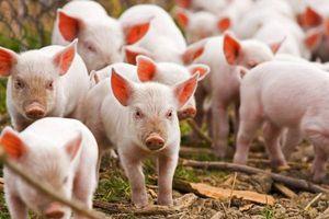 Bộ NN&PTNT đề xuất Thủ tướng về giám sát bệnh cúm lợn