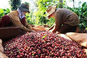 Giá cà phê hôm nay 21/7: Tiếp tục giảm 400 đồng/kg
