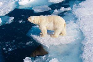 Gấu Bắc cực có thể bị tuyệt chủng vào năm 2100