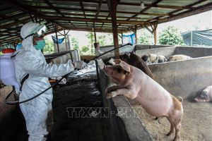 LHQ kêu gọi khẩn cấp hợp tác toàn cầu để ngăn chặn dịch tả lợn châu Phi