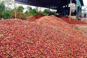 Giá cà phê hôm nay 21/7: Đột ngột giảm sau một tuần tăng kỷ lục