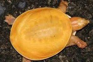 Ấn Độ: Tìm thấy rùa bạch tạng màu vàng óng siêu hiếm