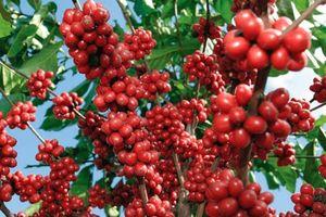 Giá cà phê hôm nay 23/7: Đồng loạt tăng 500 đồng/kg, Đắklắk cao nhất cả nước
