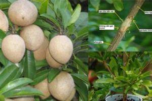 Hướng dẫn trồng hồng xiêm chiết mau ra quả, năng suất cao