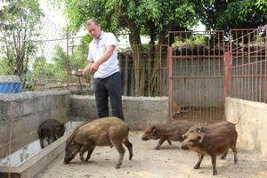 Nuôi lợn rừng an toàn dịch bệnh