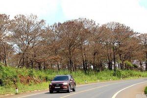 Cả rừng thông ven quốc lộ 14 bị đầu độc: Vì sao khó bắt nghi phạm?