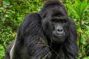Phạt tù thợ săn giết khỉ đột quý hiếm