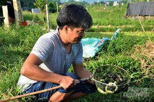 Tuyên Quang: Thu tiền tỷ từ nuôi ốc nhồi
