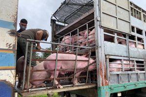 Thêm 1.000 con heo Thái Lan được nhập khẩu về Việt Nam
