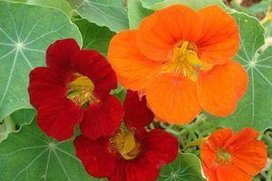 Trồng hoa này trong nhà vừa làm cây cảnh cả đời lại không lo muỗi, côn trùng