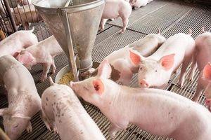 Giá lợn hơi hôm nay 3/8: Cả 3 miền giảm 1.000 - 3.000 đồng/kg