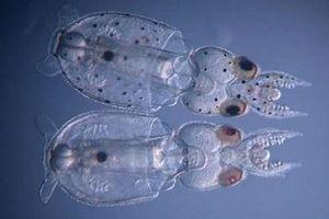 Lần đầu tiên biến đổi gene loài mực để phục vụ thí nghiệm