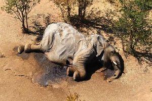 Nguyên nhân ban đầu về cái chết bí ẩn của hàng trăm con voi ở Botswana