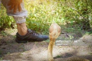 Clip: Bị rắn hổ mang 'nằm vùng' nơi chỗ hiểm suốt 7 tiếng, chàng trai may mắn bình an vô sự
