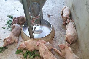 Nghệ An: Lợn giống nhiễm bệnh tai xanh chết hàng loạt!