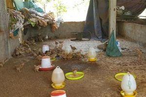 1.000 con gà giống lạc vào nhà cán bộ: Sai phải chịu!