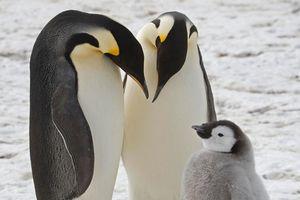 Hình ảnh vệ tinh tiết lộ chim cánh cụt Nam Cực đang tăng đàn