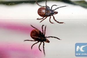 Trung Quốc: Virus từ bọ ve lây sang người, 60 người mắc bệnh, 7 người tử vong