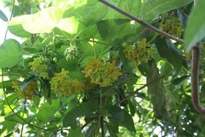 Cách trồng hoa thiên lý đơn giản vừa có rau ăn vừa có bóng mát, hoa thơm