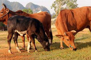 Hà Nội: Đẩy mạnh lai tạo giống, nâng cao chất lượng đàn bò