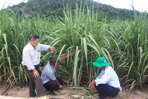 Phú Yên: Giải hạn cho cây mía