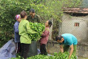 Người dân trồng chè lao đao do rớt giá thảm hại