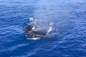 Khoảnh khắc bình yên, kẻ săn mồi tàn nhẫn cá voi sát thủ chơi đùa cùng cá mặt trời