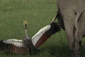 Sếu dũng cảm một mình chống lại đàn voi bảo vệ tổ