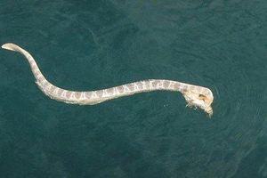 Rắn độc biển khổng lồ tử chiến với cá đá gai độc