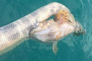 Rắn biển'đồng quy vu tận' với cá đá gai độc