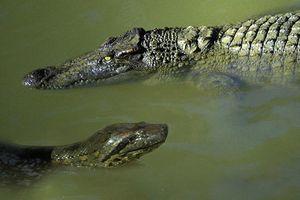 Một phút sơ sẩy, 'sát thủ' đầm lầy Amazon trở thành miếng mồi của trăn khổng lồ Anaconda