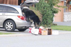 Kính xe ô tô có thể chịu nổi cú tát của gấu?