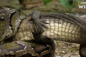 Kinh hãi cảnh trăn khổng lồ nuốt chửng cá sấu