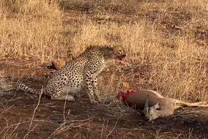 CLIP: Linh dương Impala xui xẻo phải bỏ mạng khi bị báo săn tấn công
