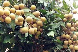 Tiếp tục tìm kiếm cơ hội xuất khẩu quả nhãn Việt ra thế giới