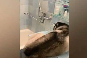 Bật cười chú chó Husky to lớn tưởng bồn rửa mặt là bồn tắm