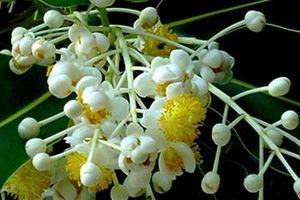 Mù u bông trắng lá thắm nhụy vàng…