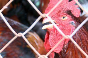 Dabaco cung ứng ra thị trường 60 triệu gà giống lông mầu chất lượng cao