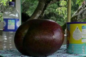 Quả xoài lớn nhất thế giới ở Colombia nặng hơn 4kg