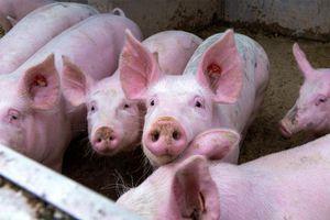 Giá lợn hơi hôm nay 11/8: Cả 3 miền tiếp tục giảm 1.000 - 4.000 đồng/kg