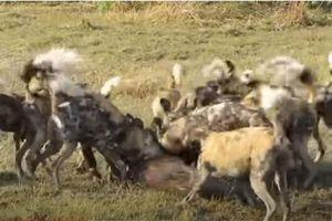 CLIP: Lợn bướu tan xương nát thịt dưới nanh vuốt đàn chó hoang