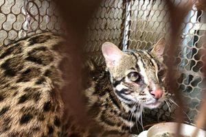 Kịp thời giải cứu một cá thể 'Cẩm Miêu' loài mèo rừng quý hiếm
