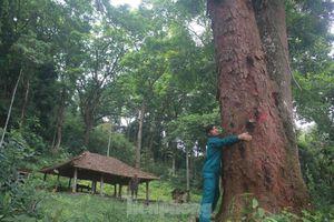 Cận cảnh khu rừng lim lạ 'trăm năm' tuổi ở Bắc Giang