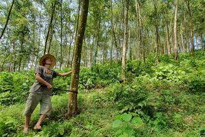 Tuyên Quang: Gỡ khó cho khai thác rừng trồng