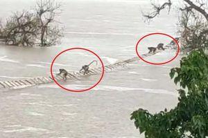 Giải cứu 100 con khỉ mắc kẹt trên dòng nước lũ ở Ấn Độ