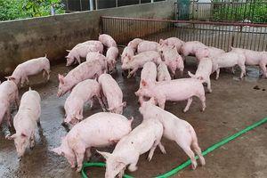 Giá lợn hơi hôm nay 14/8: Miền Bắc - Nam biến động từ 1.000 - 3.000 đồng/kg