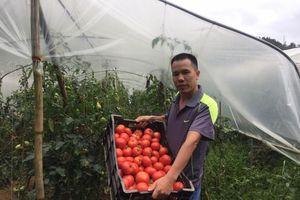 Lào Cai: Trồng cà chua trái vụ trong nhà màng