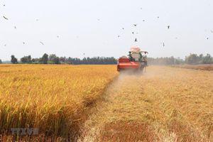 Giá lúa tại Đồng bằng sông Cửu Long liên tục biến động