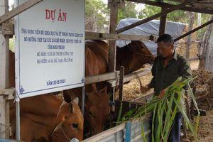 Ninh Thuận: Chuyển giao tiến bộ kỹ thuật nuôi bò hướng thịt