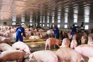 Ngày cuối tuần giá thịt lợn hơi tiếp tục giảm nhẹ